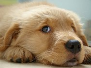 cachorro-fofo